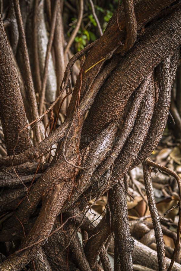 De veelvoudige lucht en steunende wortels van ficuselastica een close-up stock afbeeldingen