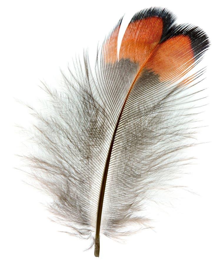 De veer van de fazant