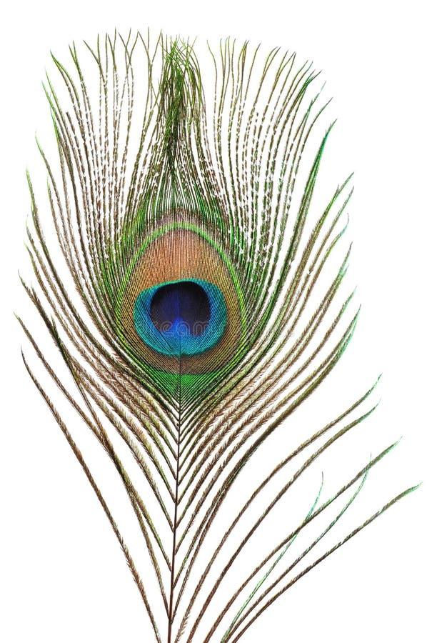 De veer van de pauw stock afbeelding