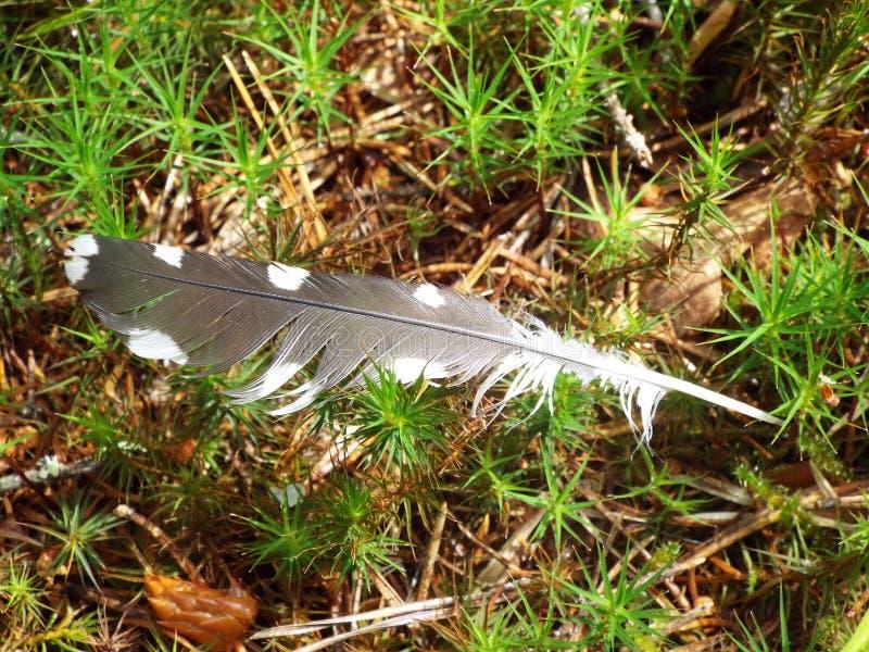 De veer van een specht op het gras in het bos stock foto's