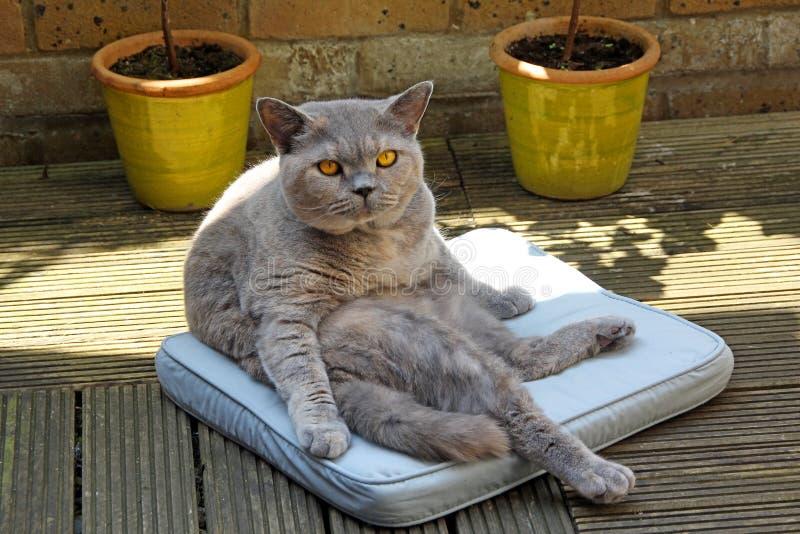 De Vegged gato pedigrí hacia fuera fotos de archivo