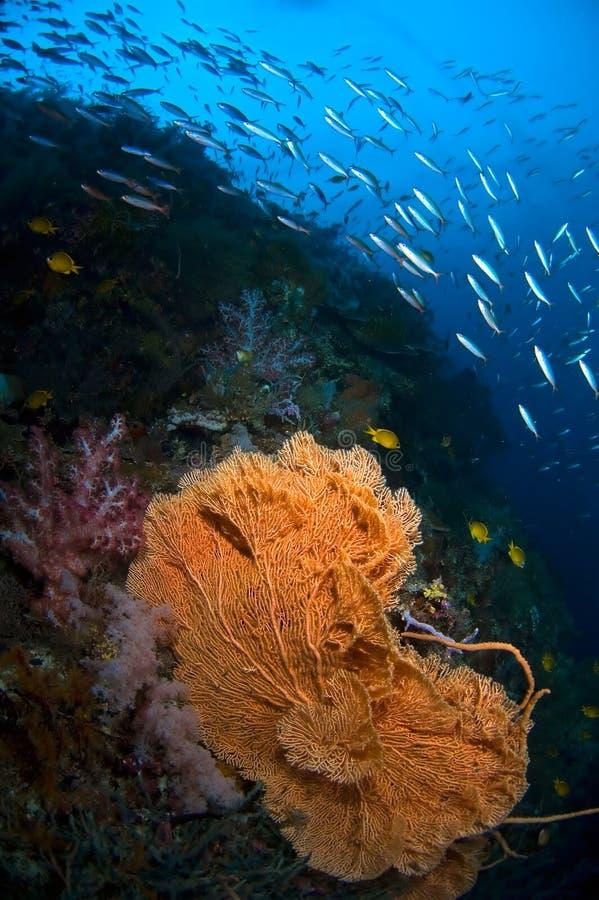 De ventilator Indonesië Sulawesi van het koraal royalty-vrije stock fotografie