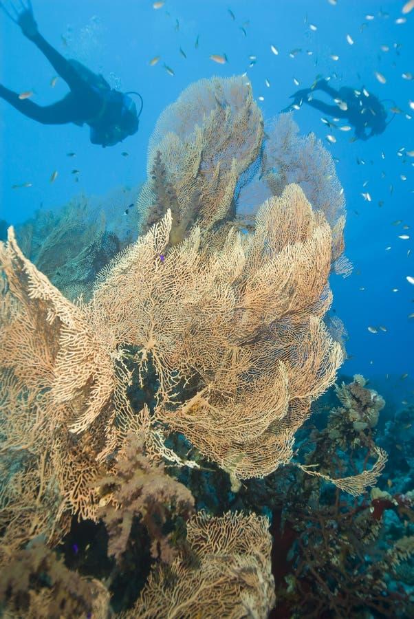 De ventilatorkoraal van Gorgonian met scuba-duikers. stock foto