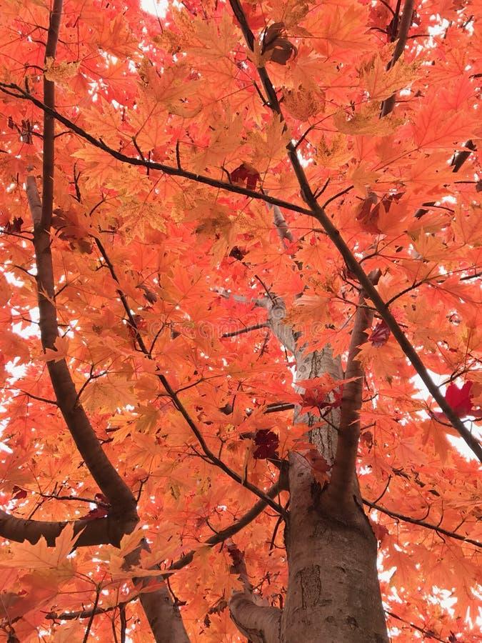 De Veranderende Kleur van de esdoornboom in de herfst stock foto's