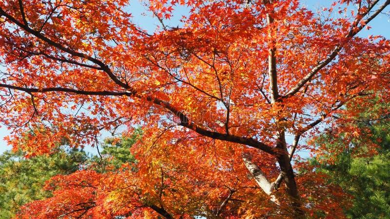 De verandering Japan van de bladerenkleur royalty-vrije stock afbeeldingen