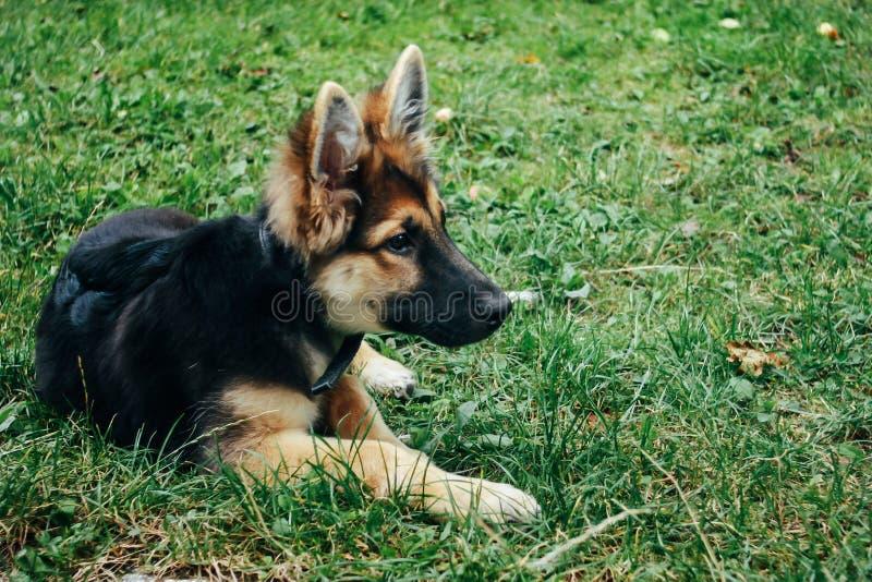 De verbazende aanbiddelijke zitting van de puppy Duitse herder op groen gras stock afbeelding