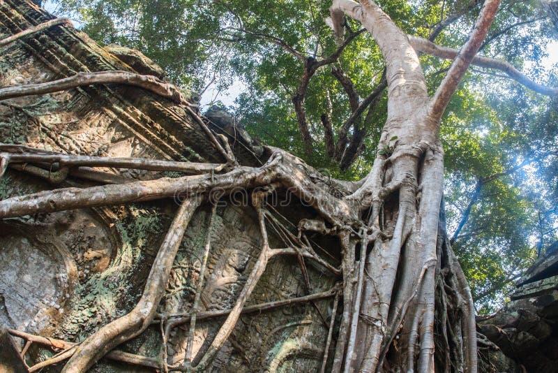 De verbazende ongelooflijke wortels van de reuze oude bomen van Ta Prohm, Angkor Wat, Siem oogsten, Kambodja De tempel is ook royalty-vrije stock afbeelding