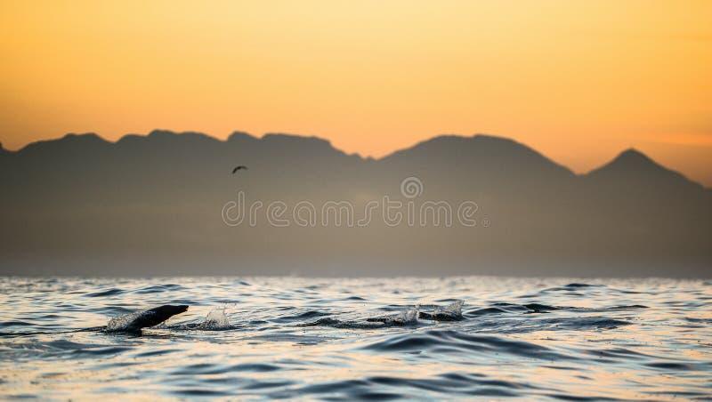 De verbindingen zwemmen en springend uit water op zonsondergang royalty-vrije stock afbeeldingen