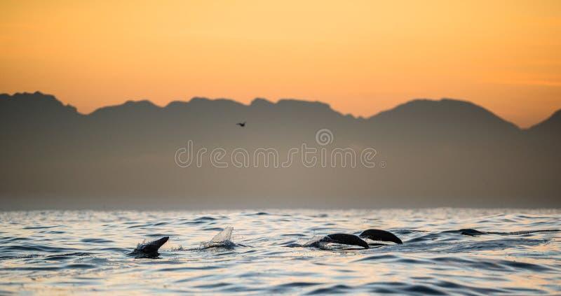 De verbindingen zwemmen en springend uit water op zonsondergang royalty-vrije stock foto