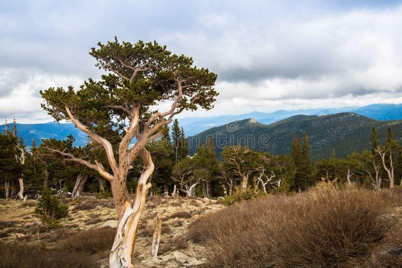 De verdraaide bomen van de bristleconepijnboom in Mt De wildernisgebied van Evans stock foto