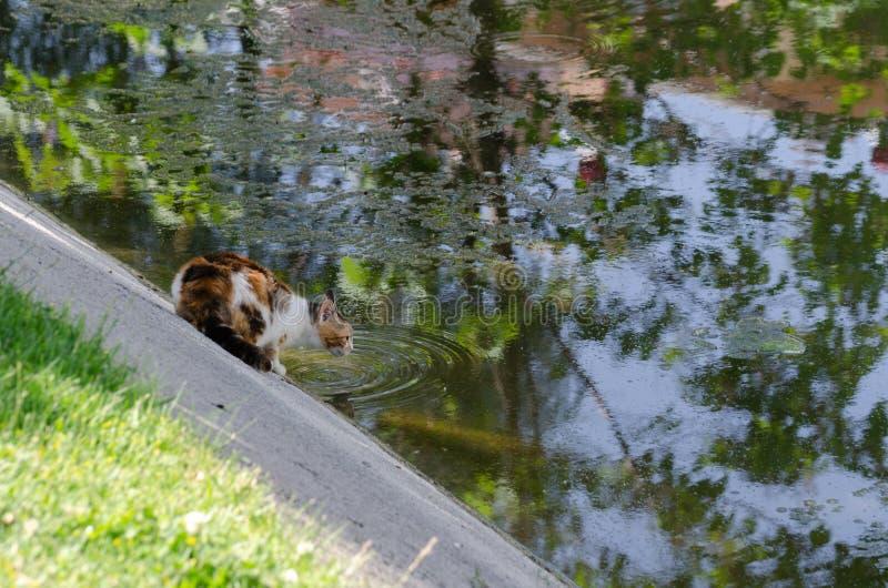 De verdwaalde dorstige kat en het drinkt water van de kreek stock foto