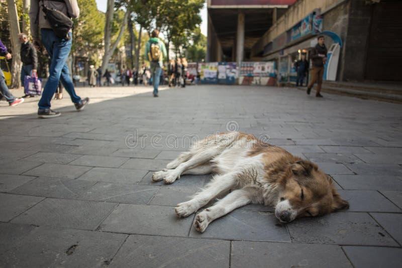 De verdwaalde hond ligt op de de stadsstraat van Tbilisi stock afbeeldingen