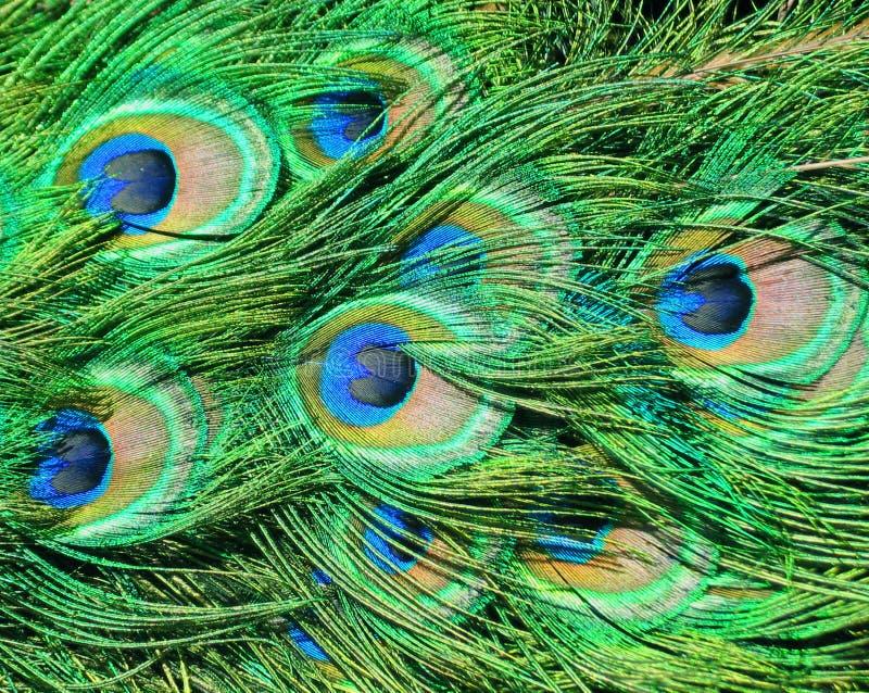 De veren van de pauw royalty-vrije stock foto
