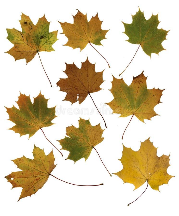 De vergeelde bladeren van de de herfstesdoorn op een witte achtergrond royalty-vrije stock afbeeldingen
