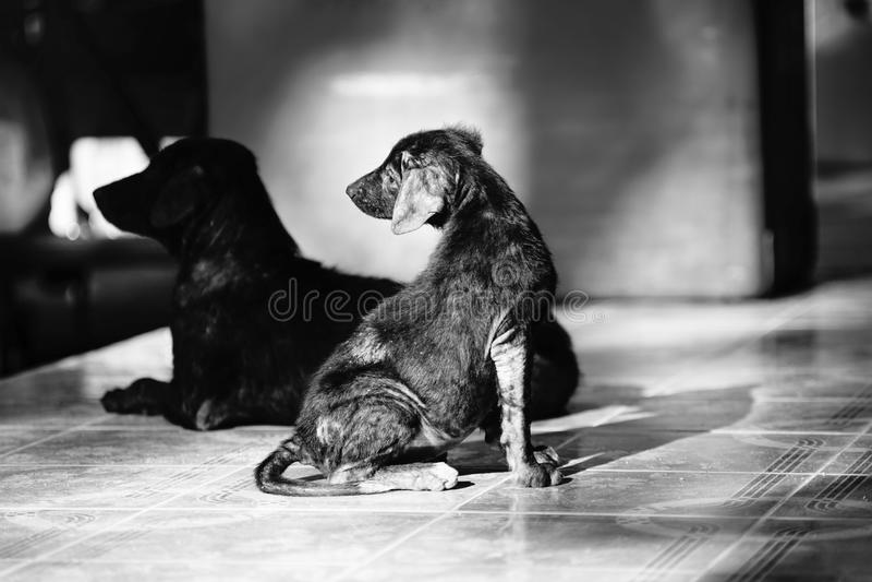De verlaten hond die op de grond liggen en ziet aan iets, de zwart-witte hoge stijl van het contrastbeeld stock fotografie