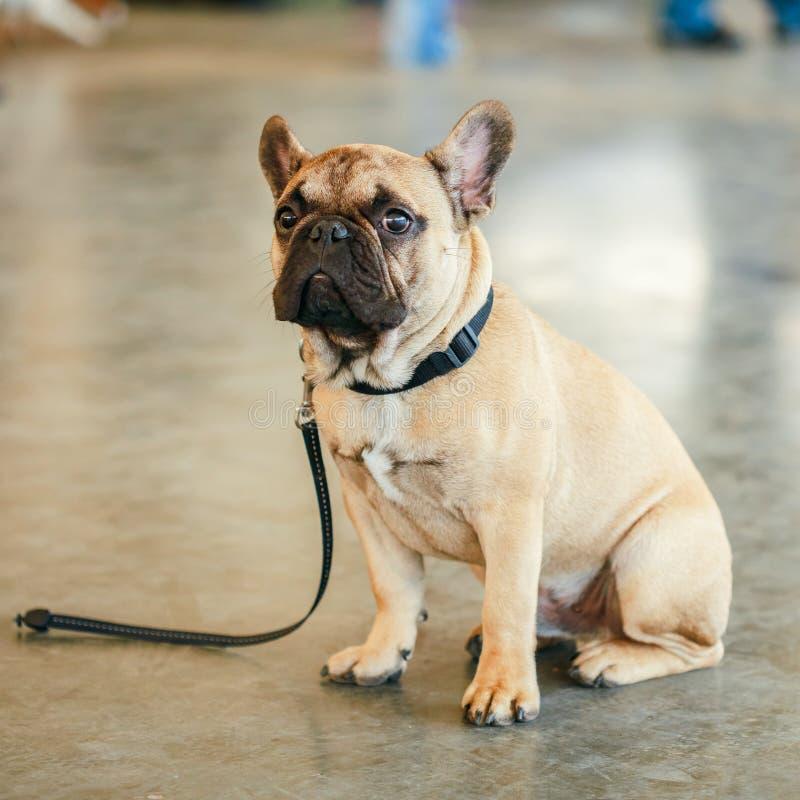 De verloren Droevige zitting van de Hond Franse Buldog op vloer royalty-vrije stock fotografie