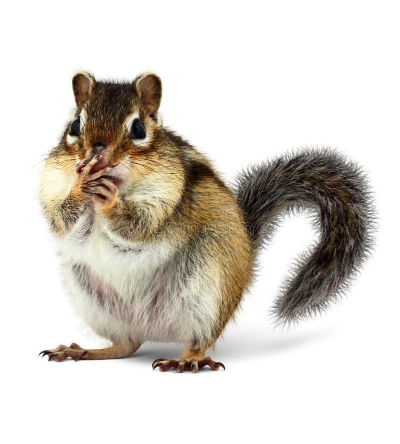 De verraste die mond van het eekhoornsluiten met poten, op wit worden geïsoleerd royalty-vrije stock afbeelding