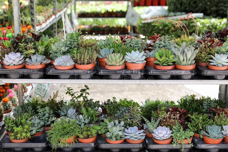 De verscheidenheid van kleine decoratieve succulents in potten op de planken bij de de lentebloem toont royalty-vrije stock afbeeldingen