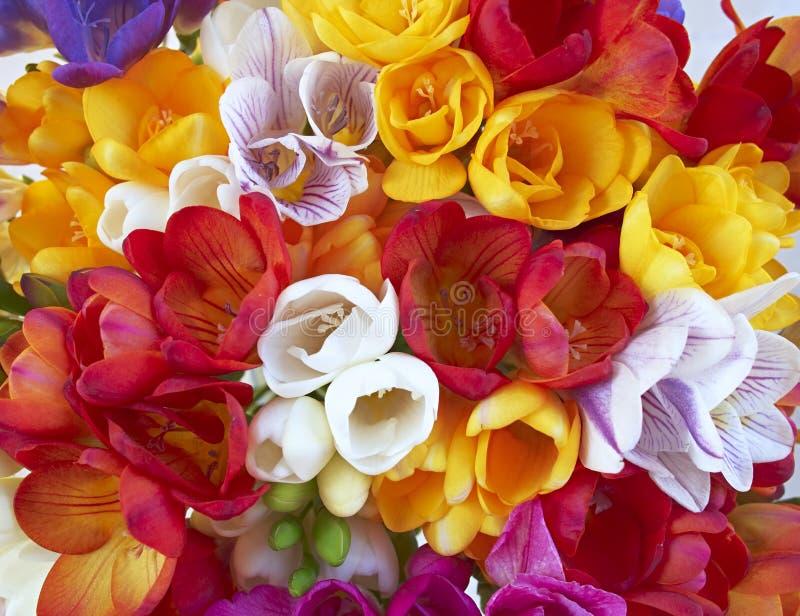 De verscheidenheid van kleurrijke fresia bloeit dicht omhoog stock afbeelding