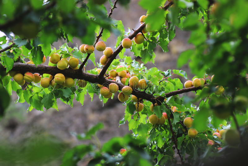 De verse abrikozen hangen in Hunza Pakistan stock foto's