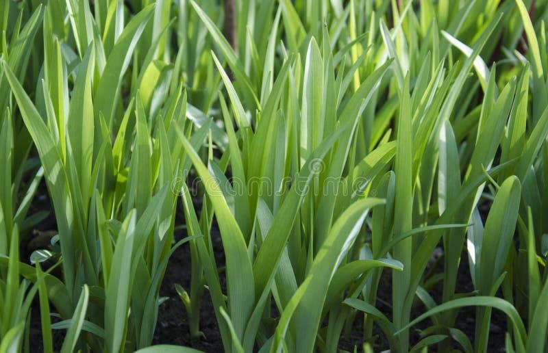 De verse achtergrond van het de lente groene gras royalty-vrije stock foto