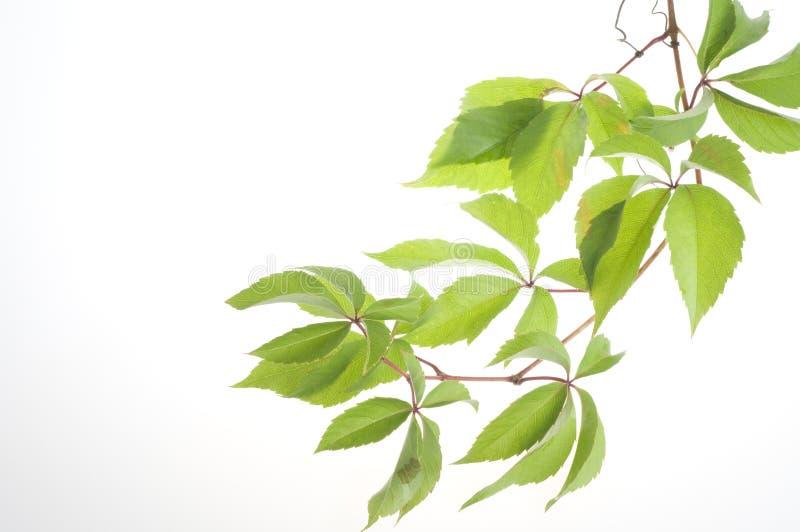 De verse bladeren van de druif over witte achtergrond stock afbeeldingen