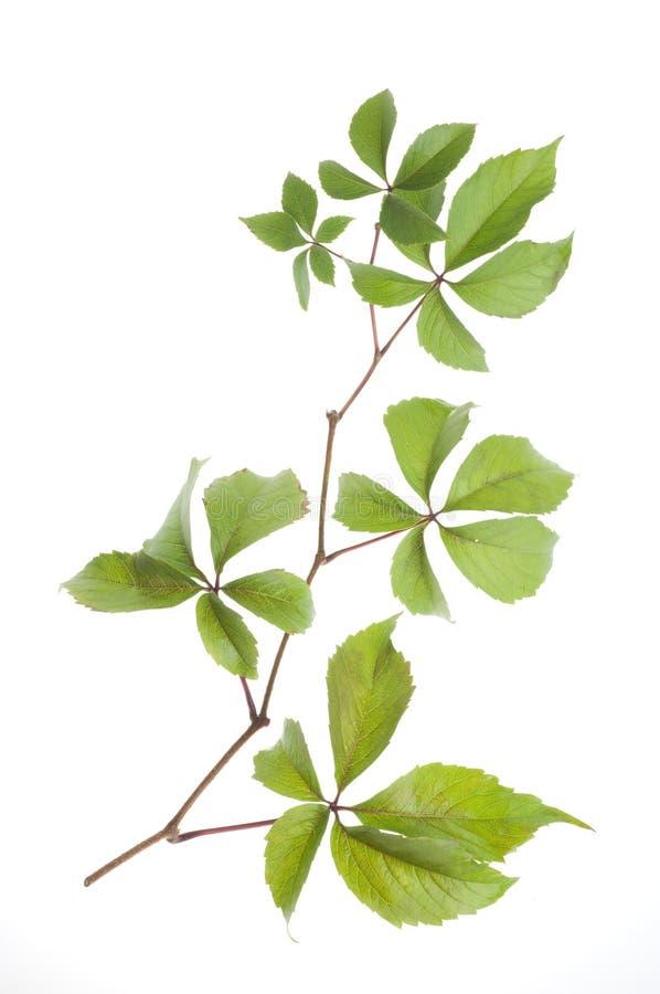 De verse bladeren van de druif over witte achtergrond royalty-vrije stock fotografie