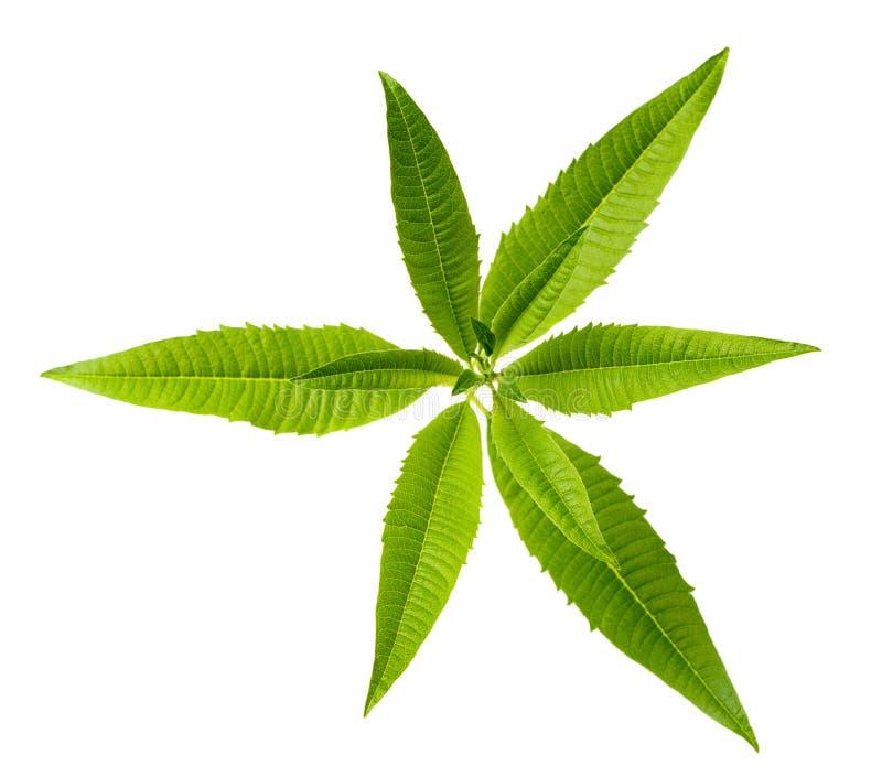 De verse bladeren van het citroenijzerkruid op witte, hoogste mening stock foto's