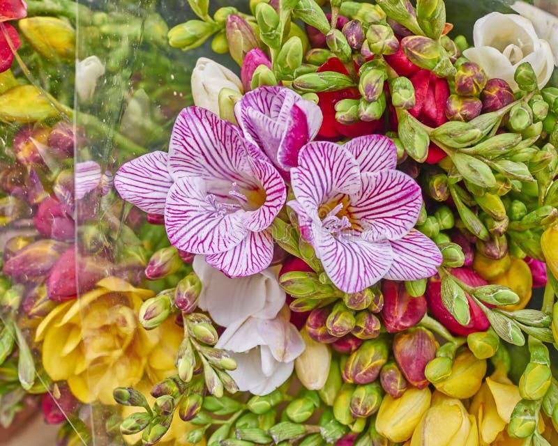 De verse close-up van fresiabloemen royalty-vrije stock foto's