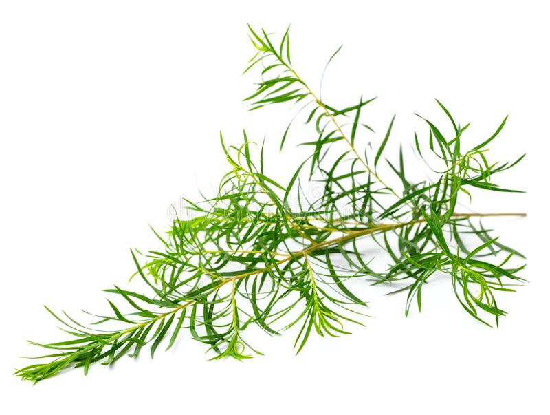 De verse die bladeren van de theeboom op wit worden geïsoleerd stock foto's