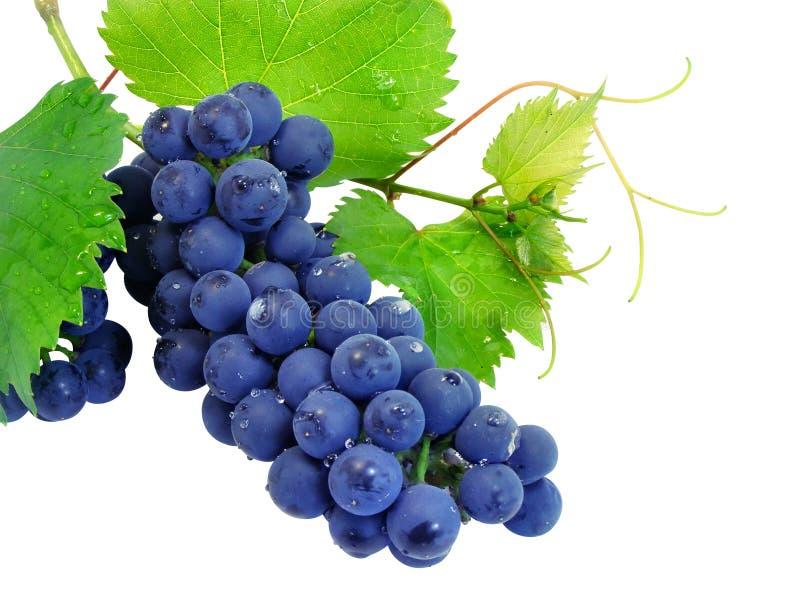 De verse druivencluster met doorbladert stock foto