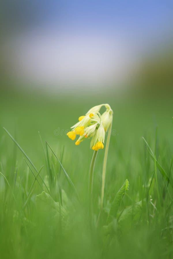 De verse gele bloemen sleutelbloem namen op de lente groene weide toe royalty-vrije stock afbeeldingen
