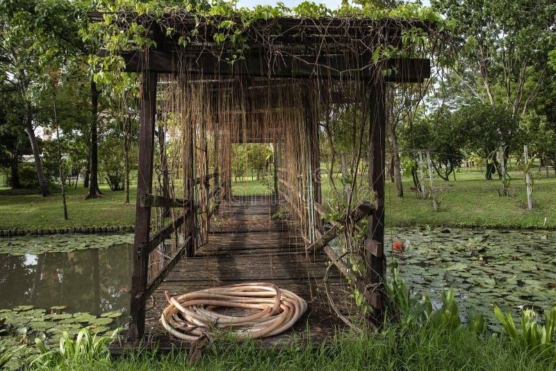 De verse groei van de druivenklimop omhoog op oude houten brug stock fotografie