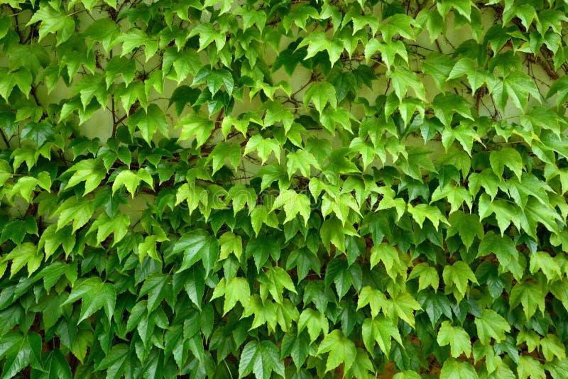 De verse groene bladeren van de klimopklimplant royalty-vrije stock afbeelding