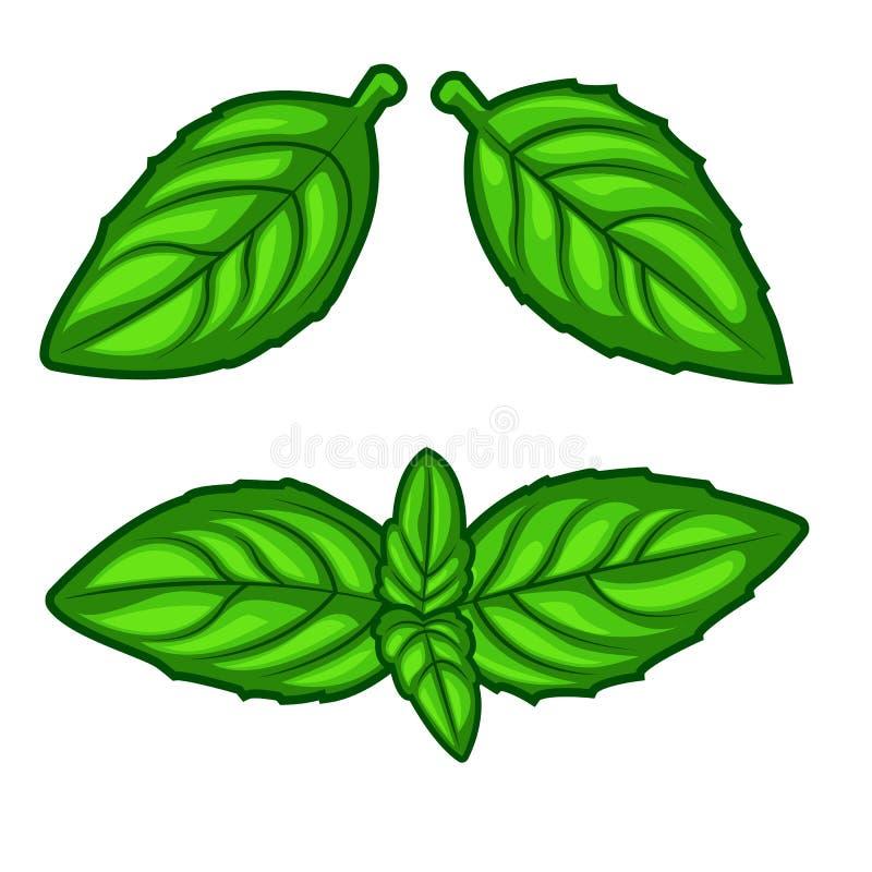 De verse groene die bladeren van het basilicumkruid op witte achtergrond worden geïsoleerd stock fotografie