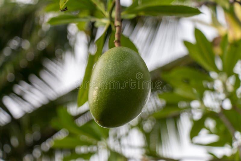 De verse groene installatie van het mangofruit buiten in de zomer royalty-vrije stock foto