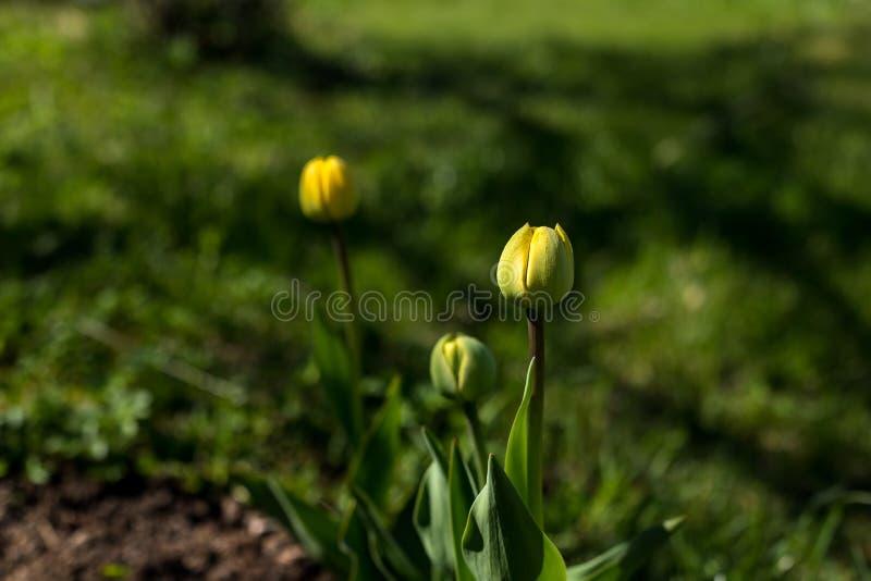 De verse groene knoppen van gele tulp bloeit onder sappig groen gras in zonlichtstralen E Schoonheid van stock foto's
