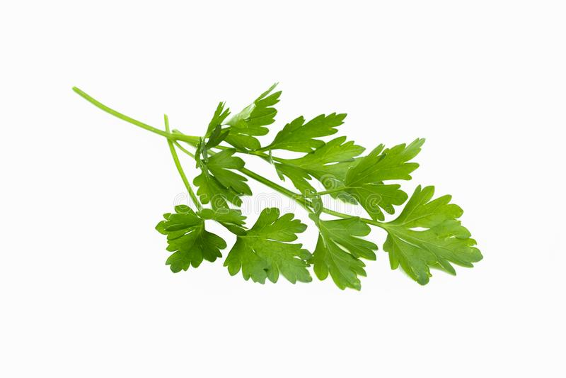 De verse groene peterseliebladeren bundelen, ruw organisch die blad, op witte achtergrond wordt geïsoleerd stock afbeelding