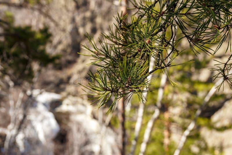 De verse groene tak van de pijnboomboom in de lente royalty-vrije stock foto