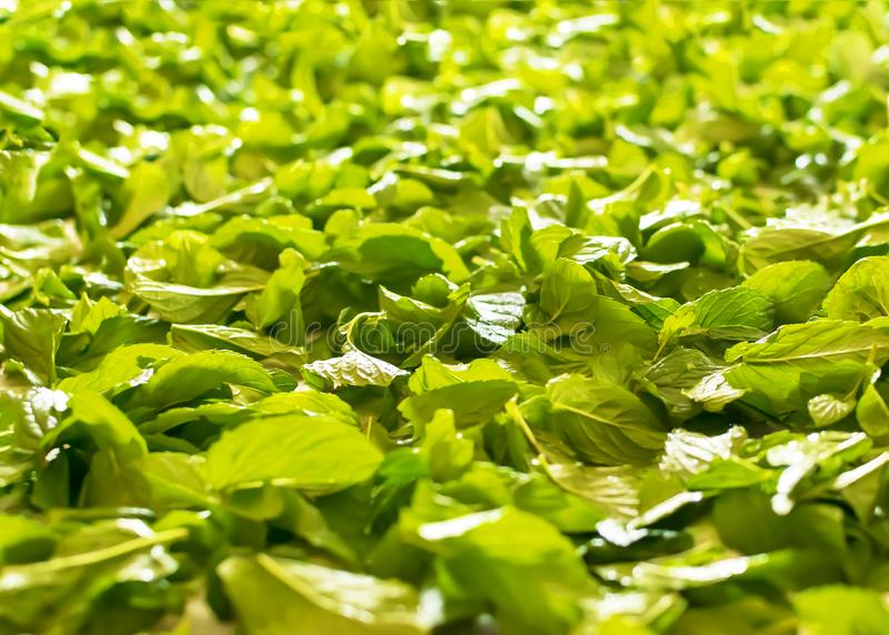 De verse helende groene achtergrond van muntbladeren Kruidenpepermunt stock foto's