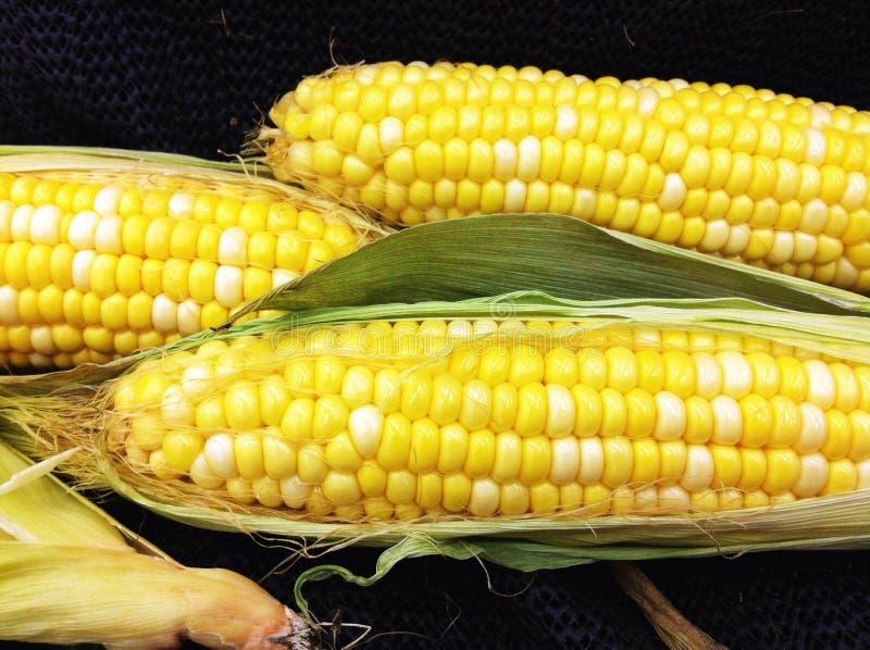 De verse maïskolven van het landbouwbedrijf stock foto