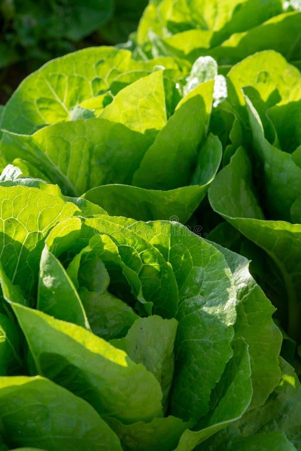 De verse organische groene de groentegroei van het slablad openlucht op fie stock foto