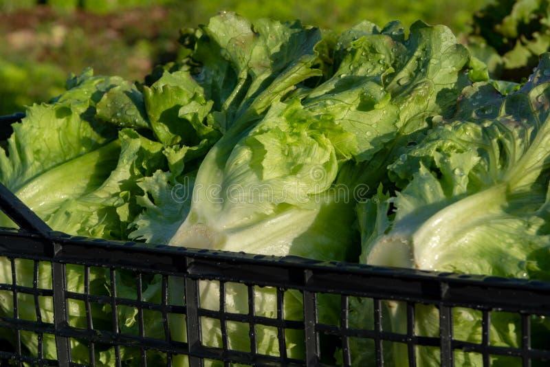 De verse organische groene de groentegroei van het slablad openlucht op fie royalty-vrije stock fotografie