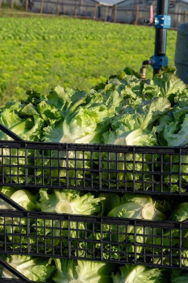 De verse organische groene de groentegroei van het slablad openlucht op fie stock fotografie
