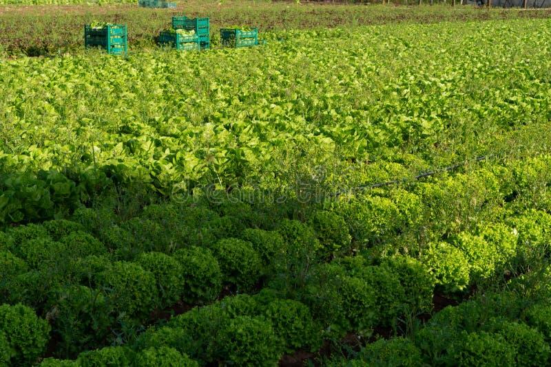 De verse organische groene de groentegroei van het slablad openlucht op fie royalty-vrije stock foto