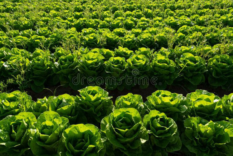 De verse organische groene de groentegroei van het slablad openlucht op fie royalty-vrije stock foto's