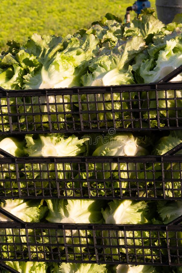 De verse organische groene de groentegroei van het slablad openlucht op fie stock foto's