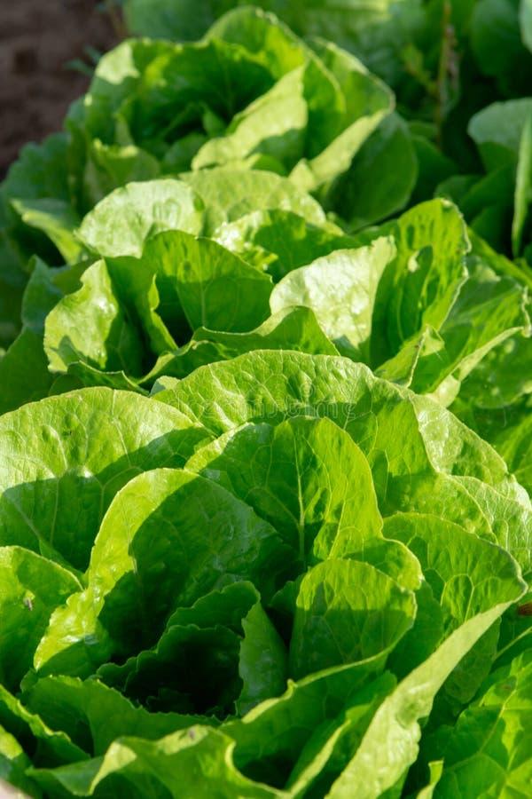 De verse organische groene de groentegroei van het slablad openlucht op fie royalty-vrije stock afbeeldingen