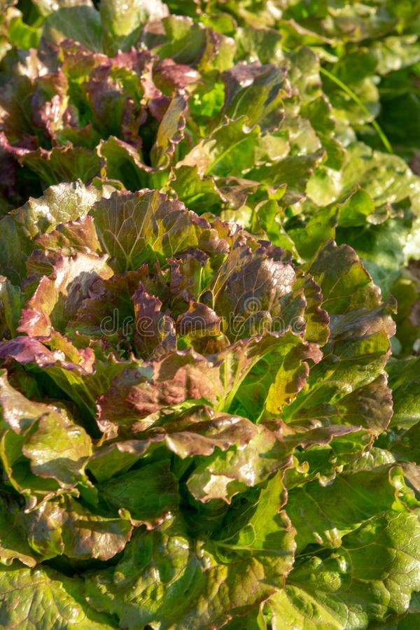 De verse organische groene de groentegroei van het slablad openlucht op fie stock afbeeldingen