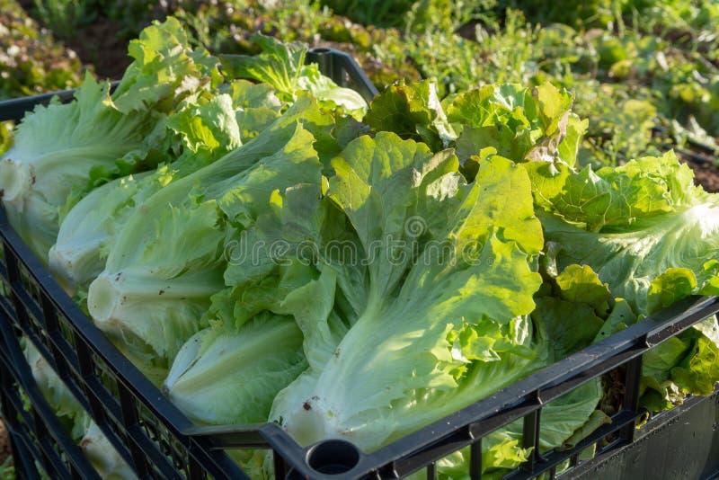 De verse organische groene de groentegroei van het slablad openlucht op fie royalty-vrije stock afbeelding